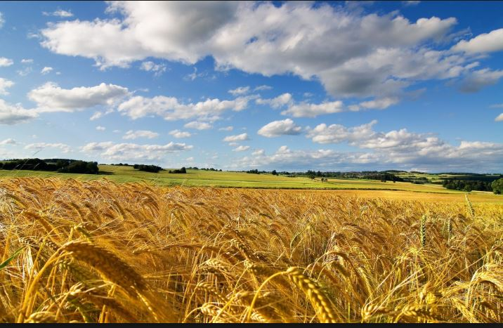 Toscana: Grano, produzione minore ma di granqualità