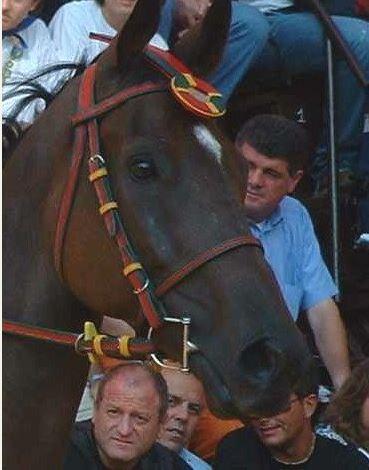 Palio di Siena: E' morto il cavalloAltoprato