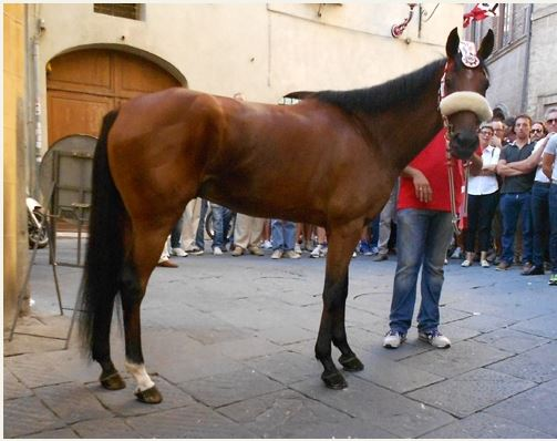 Palio di Siena: Nicolas de Pedra Ulpu – I cavalli del Palio diSiena