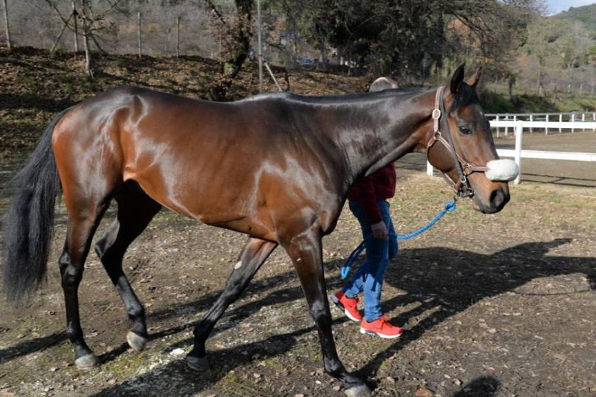 Palio di Asti, Comitato Palio Borgo Don Bosco: Ufficiale ingaggiato il cavallo Ribelle da Clodia per il Palio2020