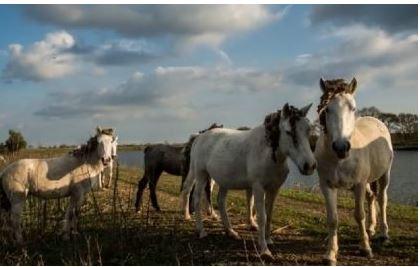 Palio di Ferrara: Cavalli di Valle Lepri, dall'abbandono al sognodell'Oasi