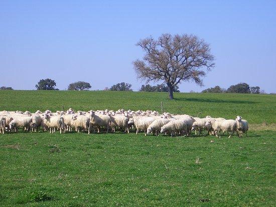 Provincia di Siena, Radicofani: Strage di pecore in treaziende