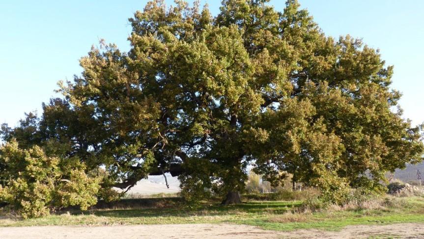 Provincia di Siena: La storia della quercia delleChecche