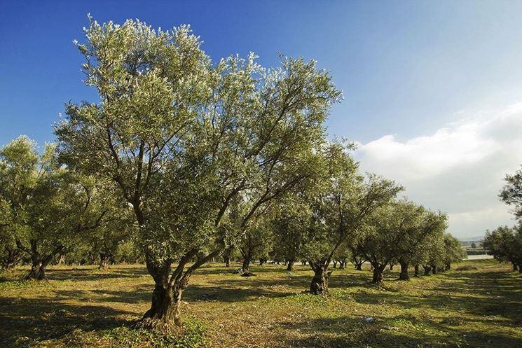 Provincia di Siena, Castelnuovo: Bando per concedere la coltivazione degli olivi in aree verdi comunali a cittadini eassociazioni