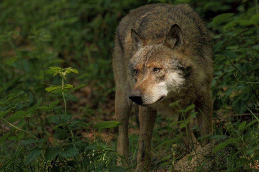 Provincia di Siena: Assalto di lupi, paura adAncaiano