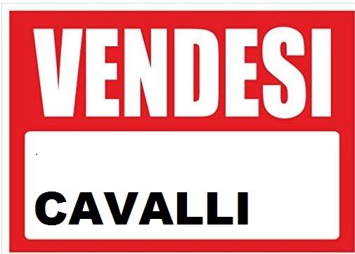 Sardegna, Samugheo ( OR ): Cavalli invendita