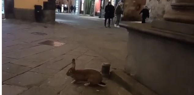 Siena: Il video del coniglio Cotoletta che passeggia per la città e si mette in posa per farsifotografare
