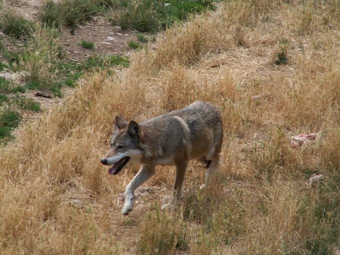 Provincia di Siena: Asciano, branco di lupi a passeggio per le CreteSenesi
