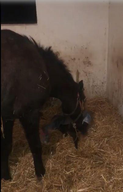 Ippica, Il mondo dei cavalli: Bellissimo video della madre che accudisce il puledro appenanato