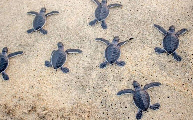Toscana: Nidi di tartaruga devastati dallemareggiate