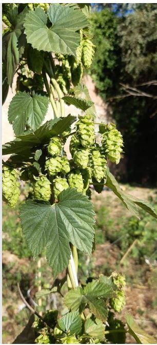 Siena, Positiva la raccolta di luppolo nella valle di Follonica: Torna la Birra delleMura