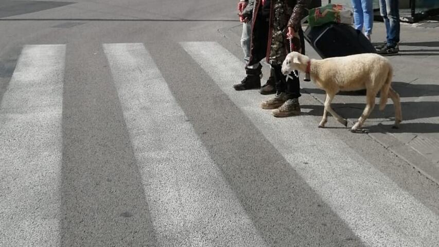 Toscana: La pecora al guinzaglio sorprende ipassanti