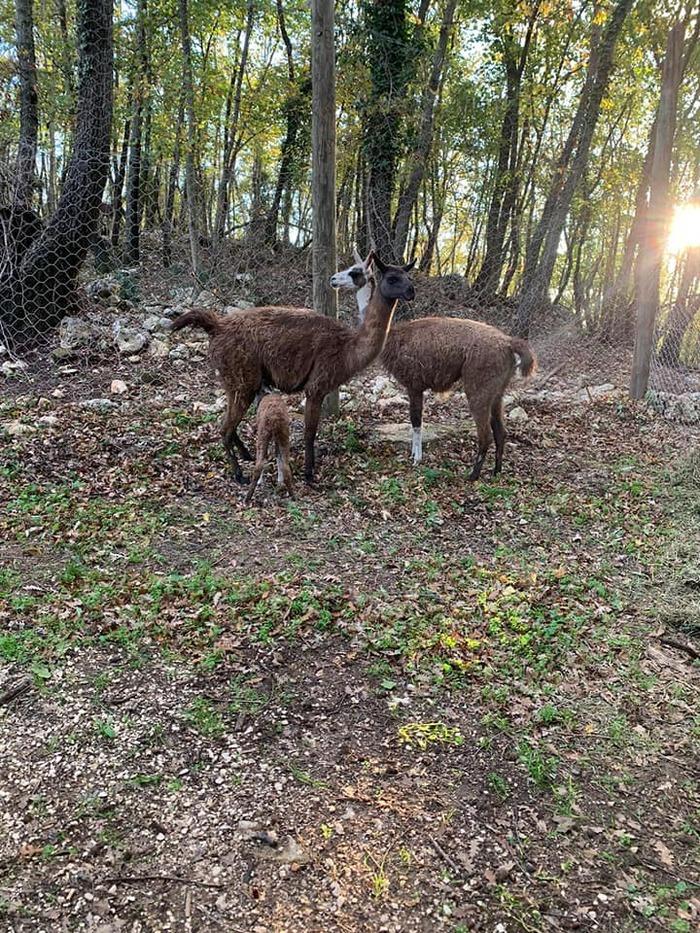 provincia di Siena: I lama di Gaiole in Chianti sono al sicuro aSemproniano