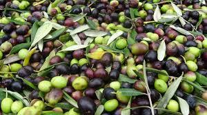 Toscana: Olivicoltura, la Regione attiva 3,75 milioni di risorse europee per programmi disostegno