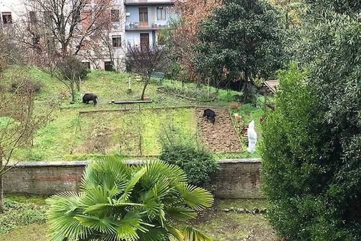 Siena: Oggi 31/01 cinghiali avvistati in ViaRicasoli