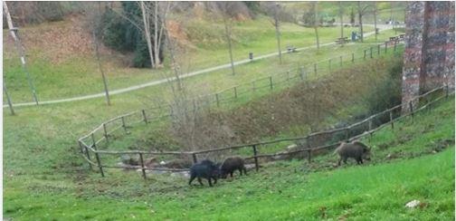 Siena: Cinghiali all'ex tiro a segno in Pescaia a pochi metri daibambini