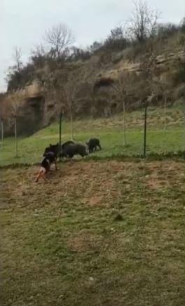Siena: Cinghiali faccia a faccia con i cani nel Parco Unità d'Italia inPescaia