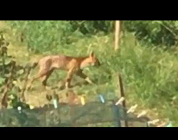 """Provincia di Siena, Ecco il felino di Radi"""", la foto che circola nelle chat: E' unafake"""