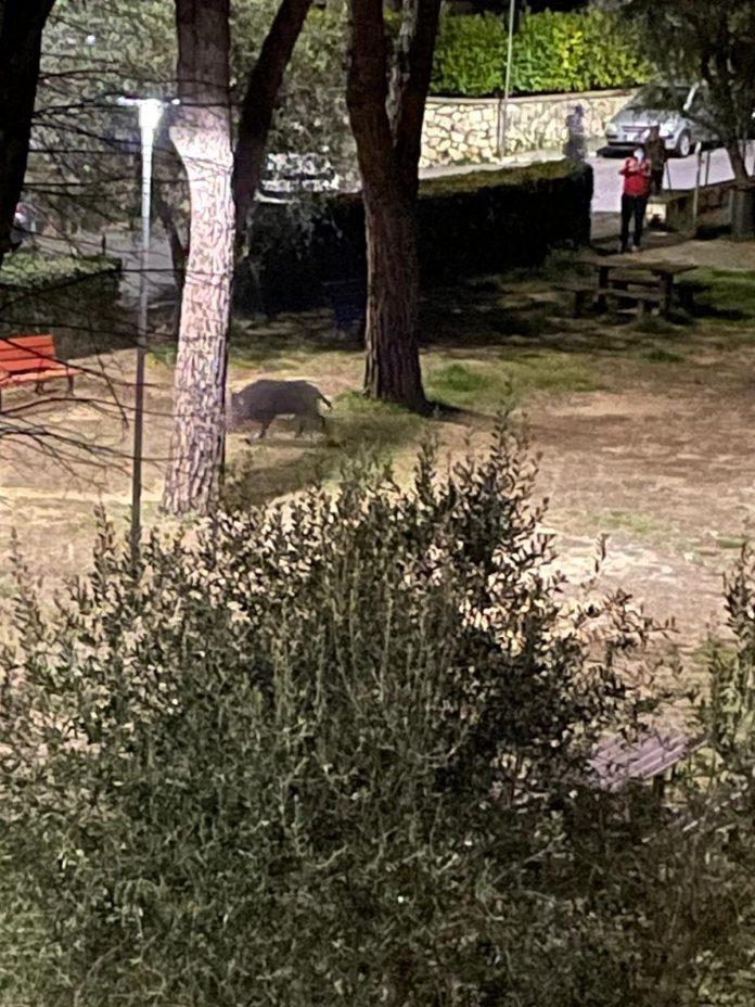 "Siena, Cinghiale ""passeggia"" a San Prospero: Video efoto"