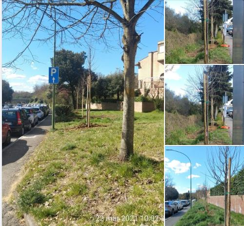 Siena: Dopo il censimento del patrimonio arboreo comunale, la giunta delibera il progetto di fattibilità tecnica ed economica per la sostituzione delle piante che presentanocriticità