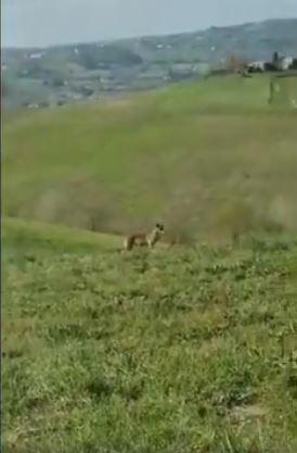 Provincia di Siena: Oggi 21/04 lupo avvistato fra Torrenieri eMontalcino