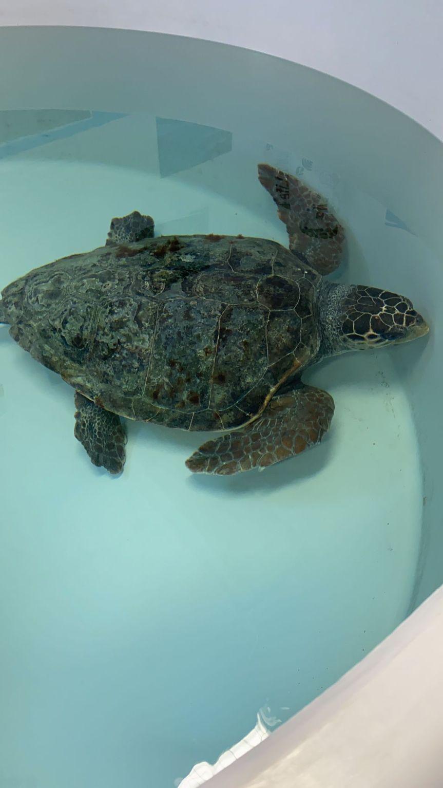 Toscana: Poseidone torna in mare, la tartaruga rilasciata nelle acque di Castiglione dellaPescaia