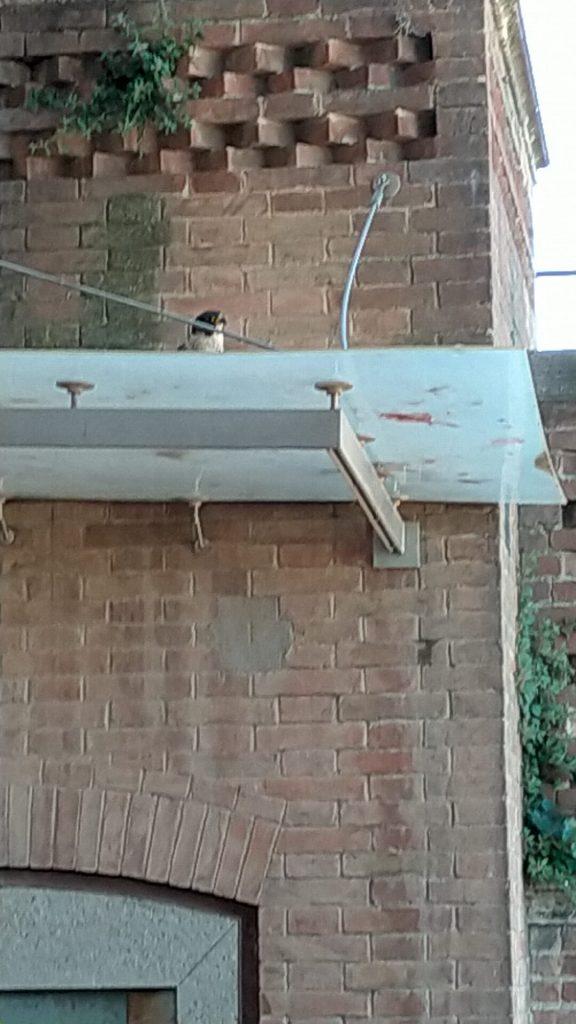"""Siena: Un falco pellegrino """"a caccia"""" nella Loggia deiNove"""