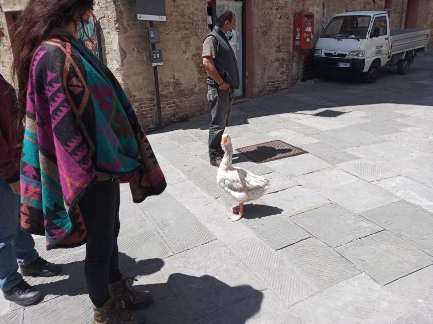 Siena, In giro per la nostra città con un'oca al seguito: Lo strano pellegrinaggio inToscana