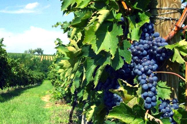 Provincia di Siena, Vino nobile di Montepulciano: Al via la prima vendemmia del'Pieve'