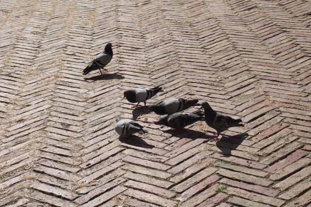 """Siena: """"Governando"""" i piccioni in piazza delCampo…"""