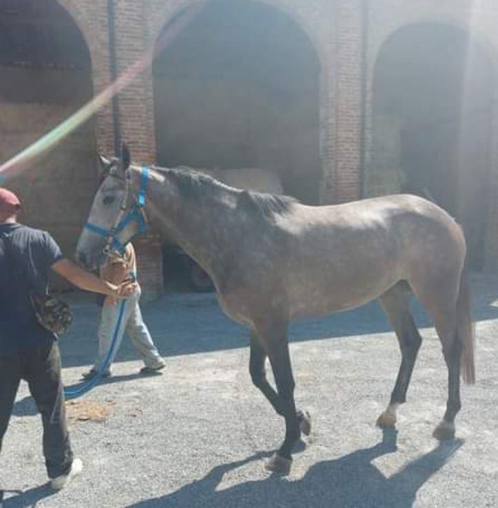 Ippica: Alla scuderia di Giacomo Lo Manto arrivato il cavallo SopranDiana
